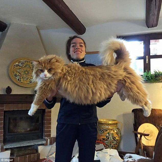 Rase de pisici mari