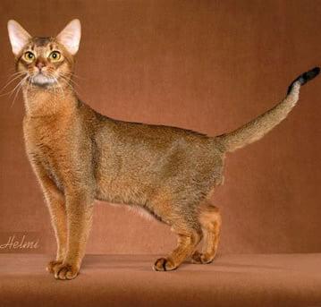 Pisica Abyssiniana