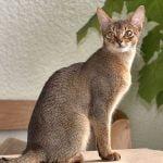 Pisica Abyssiniana acasa