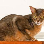 Pisica Abyssiniana culcat