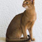 Pisica Abyssiniana la geam