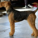 rasa caine Airedale Terrier