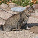 American bobtain pisica in lesa