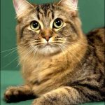 American bobtain pisica sta culcat