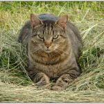 American bobtain pisica in iarba