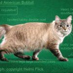 American bobtain pisica helmi