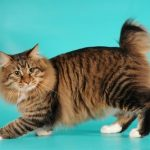 American bobtain pisica fara coada