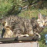 American bobtain pisica pe margine
