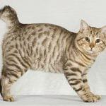 American bobtain pisica baltata
