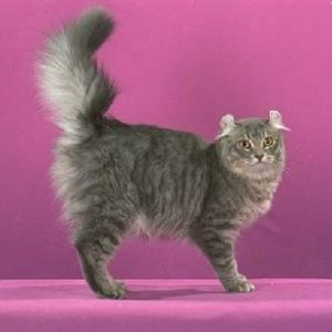 Pisica American Curl