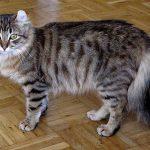 American curl pisica acasa