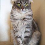 American curl pisica ochi mari