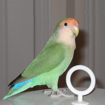 Papagalul Amorez