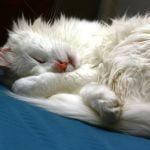 Angora turceasca pisica doarme
