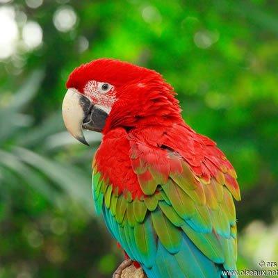Papagalul Ara cu Aripi Verzi