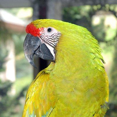 Marele Papagal Verde