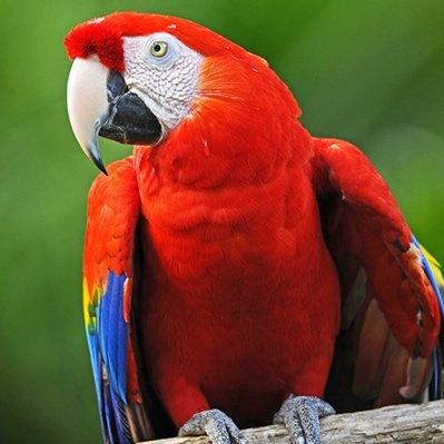 Papagalul Stacojiu