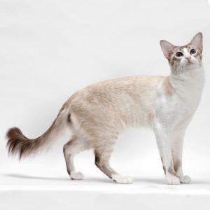 Pisica Balineza