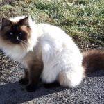 Balineza pisica la plimbare