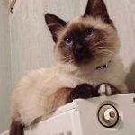 Balineza pisica pe calorifer