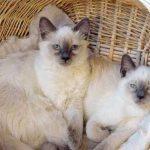 Balineza pisica pisici in cos