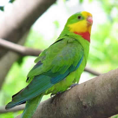 Papagalul Barraband