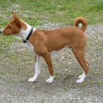 caine Basenji in parc