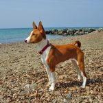 caine Basenji pe plaja