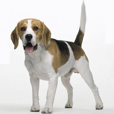 Poze Beagle