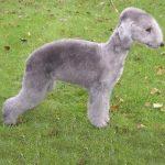 caine Bedlington Terrier