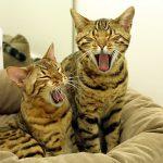 bengaleza pisica miauna