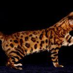 bengaleza pisica este curioasa