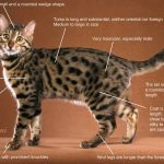 bengaleza pisica descriere
