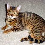 bengaleza pisica culcata
