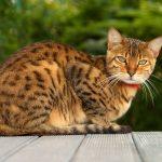 bengaleza pisica cu zgarda