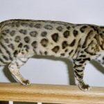 bengaleza pisica merge