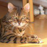 bengaleza pisica leneveste