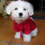 caine Bichon Maltez cu hainuta rosie