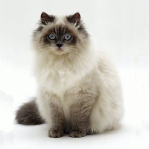 Pisica Birmaneza