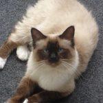 Birmaneza pisica sta pe mocheta