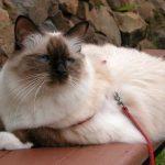 Birmaneza pisica in lesa