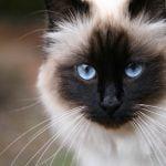 Birmaneza pisica ochi albastri