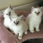 Birmaneza pisica trei pui
