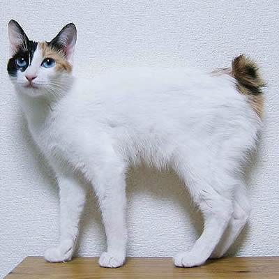 Pisica Bobtail Japonez