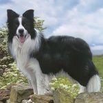 caine Border collie