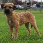 caine Border Terrier