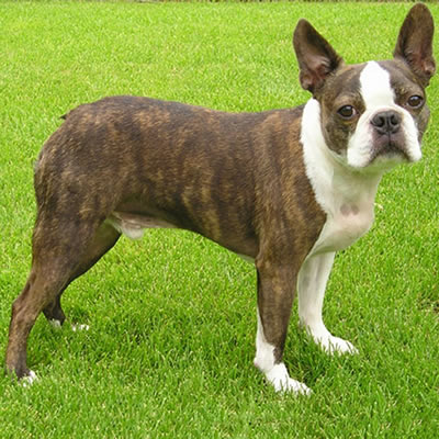 Rasa Boston Terrier