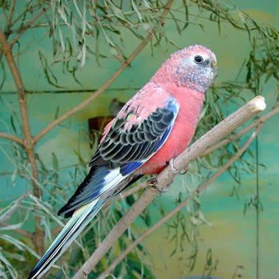 Papagalul lui Bourke