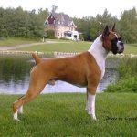 caine Boxer in parc pe iarba langa apa
