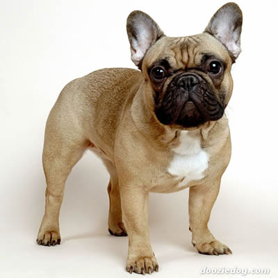 Rasa Bulldog Francez